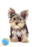 Yorkshire terrier puppy, isolated on white Stock Images