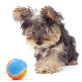 Yorkshire terrier puppy, isolated on white Royalty Free Stock Photography