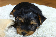 Yorkshire Terrier puppy. Lie on a white carpet Royalty Free Stock Images