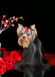 Yorkshire terrier puppy. With long hair on a black background Royalty Free Stock Image