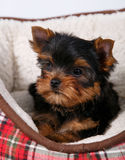 Yorkshire terrier puppy lying in the couch in the red cell. White background Royalty Free Stock Photos