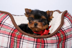 Yorkshire terrier puppy lying in the couch in the red cell. White background Royalty Free Stock Image