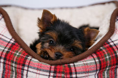 Yorkshire terrier puppy lying in the couch in the red cell. White background Royalty Free Stock Images