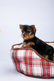 Yorkshire terrier puppy lying in the couch in the red cell. White background Stock Photo