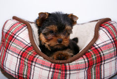 Yorkshire terrier puppy lying in the couch in the red cell. White background Stock Images