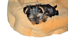 Yorkshire Terrier puppy lying on the dog bed Stock Image