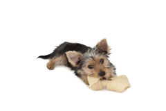 Yorkshire terrier puppy munching on a bone Royalty Free Stock Photo