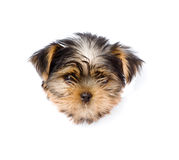 Yorkshire Terrier  puppy in paper side torn hole. isolated Royalty Free Stock Image