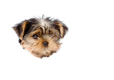 Yorkshire Terrier puppy in paper side torn hole. isolated. On white Stock Images