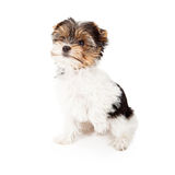 Yorkshire Terrier Puppy With Paw Up Stock Images