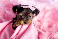 Yorkshire Terrier Puppy with Pink Background Stock Image