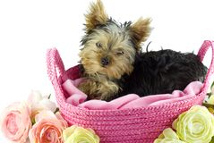 Yorkshire Terrier Puppy in Pink Basket Stock Images