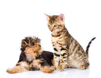 Yorkshire Terrier puppy playing with purebred bengal kitten. iso Royalty Free Stock Photography