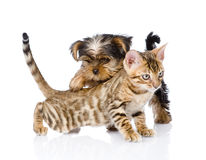 Yorkshire Terrier  puppy playing with purebred bengal kitten Royalty Free Stock Image