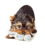 Yorkshire Terrier puppy playing with toy Royalty Free Stock Photos