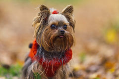 Yorkshire terrier puppy with a ponytail in a red jersey stick out tongue Stock Photos