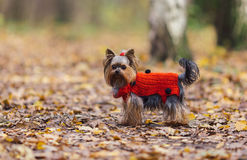 Yorkshire terrier puppy with a ponytail in a red jersey walks in the park. Cute Yorkshire terrier puppy in a red jersey walks in the autumn park stock image