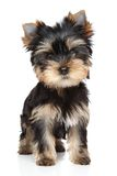 Yorkshire terrier puppy portrait Stock Images