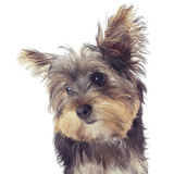 Yorkshire terrier puppy portrait, isolated on white Stock Photo