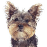 Yorkshire terrier puppy portrait, isolated on white Stock Images