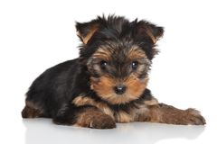 Yorkshire Terrier puppy Royalty Free Stock Photo