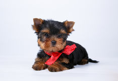 Yorkshire terrier puppy with a red bow. On white background Stock Photography