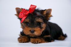 Yorkshire terrier puppy with a red bow. On white background Stock Images