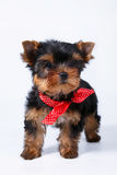 Yorkshire terrier puppy with a red bow. On white background Royalty Free Stock Photo