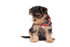 Yorkshire Terrier puppy with red collar Stock Photos
