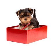Yorkshire Terrier puppy in red gift box Royalty Free Stock Photography