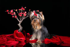 Yorkshire terrier puppy and red sakura Royalty Free Stock Photos