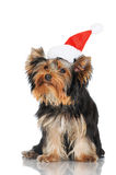 Yorkshire terrier puppy in a santa hat Royalty Free Stock Image