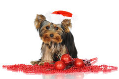 Yorkshire terrier puppy in a santa hat Royalty Free Stock Photos