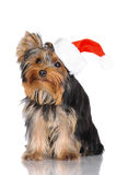 Yorkshire terrier puppy in a santa hat Stock Photo