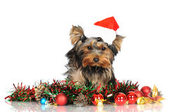Yorkshire terrier puppy in a santa hat Stock Photography