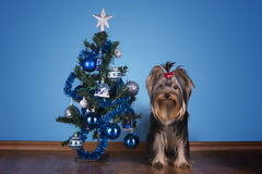 Yorkshire terrier puppy sits near a Christmas tree Stock Images