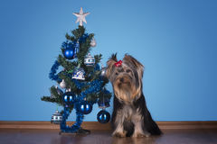 Yorkshire terrier puppy sits near a Christmas tree Royalty Free Stock Images