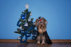 Yorkshire terrier puppy sits near a Christmas tree Stock Image