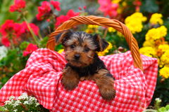 Yorkshire Terrier puppy sitting in basket with red and white blanket Stock Photo