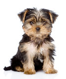 Yorkshire Terrier puppy sitting in front. isolated on white back Stock Photos