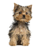 Yorkshire Terrier puppy sitting, 3 months old Stock Photography
