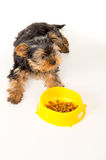 Yorkshire Terrier puppy sitting next to a bowl of feed Stock Images