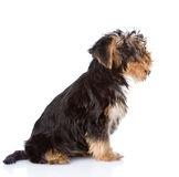 Yorkshire Terrier puppy sitting in profile.  on white ba Stock Photos
