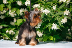 Yorkshire terrier puppy. Puppy yorkshire terrier sitting and smelling the blooming jasmine bush Royalty Free Stock Photos