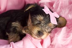 Yorkshire Terrier Puppy Sleeping Closeup Stock Photos