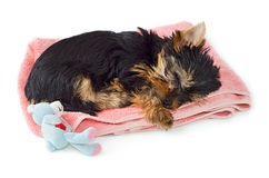 Yorkshire Terrier puppy sleeping on pink towel Stock Photography