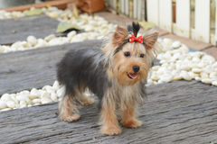 Yorkshire Terrier Puppy. The Yorkshire Terrier is a small dog breed of terrier type to catch rats in clothing mills, also used for rat-baiting. The breed is stock photos