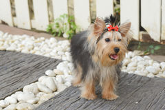 Yorkshire Terrier Puppy. The Yorkshire Terrier is a small dog breed of terrier type to catch rats in clothing mills, also used for rat-baiting. The breed is royalty free stock photos