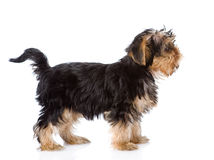 Yorkshire Terrier puppy standing in profile. isolated on white Stock Photo