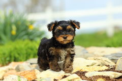 Yorkshire Terrier Puppy Standing on Stone Pathway. An adorable little Yorkshire Terrier puppy stands on a stone pathway. A fence and some flowers are diffused in Stock Photo